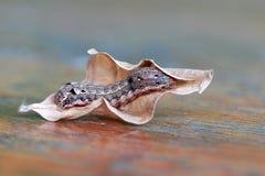 Гусеница с сухими лист на деревянном столе личинка бабочки или сумеречницы стоковое фото