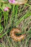 Гусеница Хоук-сумеречницы подмаренника (Sphingidae - gallii Hyles) Стоковые Фото