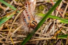 Гусеница цыганской сумеречницы, Lymantria dispar Стоковое Фото