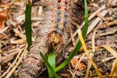 Гусеница цыганской сумеречницы, Lymantria dispar Стоковое Изображение