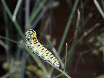 Гусеница черной бабочки Swallowtail Стоковая Фотография