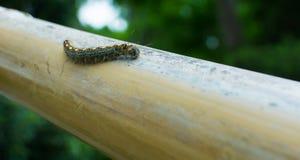 Гусеница шатра Техаса на бамбуке Стоковые Фотографии RF