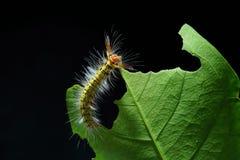 гусеница шерстистая Стоковое фото RF