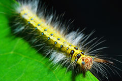 гусеница шерстистая Стоковая Фотография