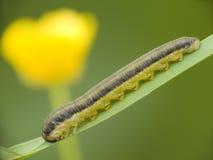 гусеница Стоковые Изображения RF