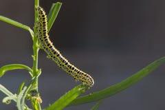 Гусеница Стоковые Фотографии RF