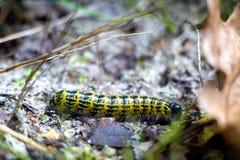 Гусеница brassicae Pieris Стоковые Изображения RF