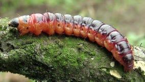 Гусеница cossus Cossus сумеречницы козы, большой красный червь, есть мочало видеоматериал