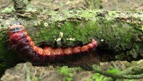 Гусеница cossus Cossus сумеречницы козы, большой красный червь, есть мочало акции видеоматериалы