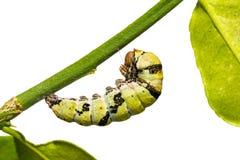 Гусеница demoleus Papilio бабочки известки Стоковая Фотография RF