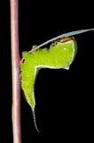 Гусеница (erminea Cerura) 11 Стоковое фото RF