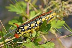 Гусеница euphorbiae Hyles Стоковое Фото