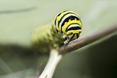 Гусеница f бабочки монарха (plexippus Даная) Стоковые Изображения
