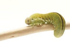 Гусеница, femorata Cimbex мухы комнатной Стоковое Изображение