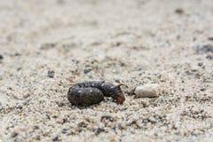 Гусеница gallii Hyles, черный вариант цвета Стоковое Фото