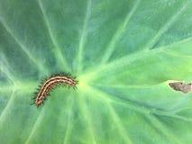 Гусеница & greeen лист заводы в саде и ЦВЕТКЕ или зеленых лист на стене стоковое фото