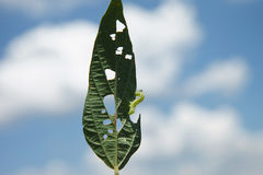 Гусеница Helicoverpa есть лист в засаживать сои стоковая фотография rf