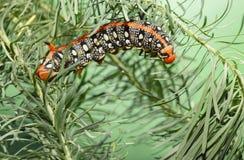 Гусеница Hornworm на spurge Стоковое фото RF