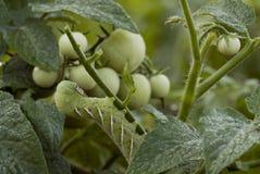 Гусеница Hornworm табака Стоковое фото RF
