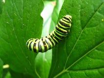 Гусеница machaon бабочки на лист Стоковая Фотография RF