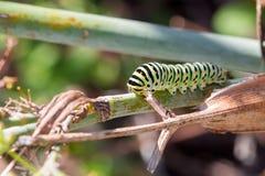 Гусеница machaon II Papilio Стоковые Изображения