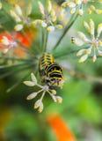 Гусеница Monarchn, larval, чешуекрылые Стоковое Фото