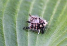 Гусеница Orgyia Antiqua, ржавая сумеречница tussock или vapourer ongreen лист стоковые изображения