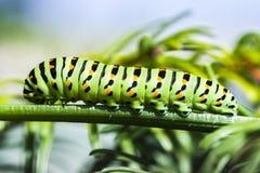 Гусеница Papilio Machaon на зеленом растении стоковые фотографии rf