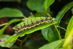 Гусеница Parthenos sylvia клипера стоковая фотография rf