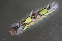 Гусеница peleides Morpho Стоковые Изображения