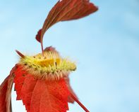 Гусеница pudibunda Calliteara на осени Стоковая Фотография