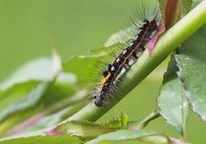 Гусеница Wananchi (similis Euproctis) Стоковые Фотографии RF