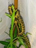 Гусеницы бабочки монарха Стоковое Изображение RF