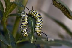 Гусеницы бабочки монарха Стоковые Изображения