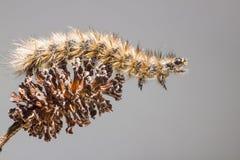 Гусеницы бабочки Стоковое Изображение RF