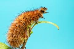 Гусеницы бабочки Стоковые Изображения RF