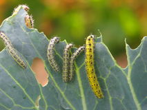 Гусеницы есть листья капусты Стоковые Фотографии RF