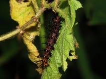 Гусеницы едят листья/бичи Стоковое Изображение