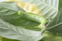 Гусеницы едят листья Стоковая Фотография