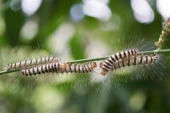 Гусеницы или волосатые гусеницы Стоковые Изображения RF