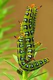 гусеницы покрасили hawkmoth Стоковая Фотография RF