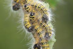 гусеницы сумеречницы Буйволовая кожа-подсказки Стоковые Изображения RF