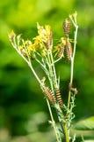 Гусеницы сумеречницы киновари, jacobaeae Tyria, на желтом ragwort Стоковая Фотография RF