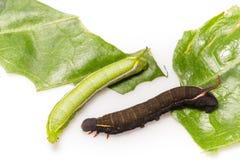 Гусеницы сумеречницы sitiene macroglossum Стоковые Фото