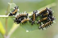 Гусеницы сумеречницы Tussock Milkweed Стоковые Фотографии RF