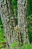 Гусеницы цыганской сумеречницы Стоковая Фотография