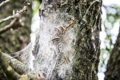 Гусеницы шатра Стоковая Фотография RF