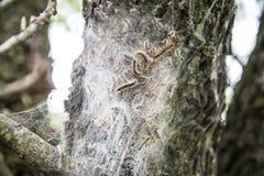 Гусеницы шатра Стоковые Изображения