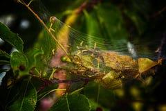 Гусеницы шатра Стоковое Изображение RF