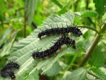 гусеницы Стоковые Изображения RF
